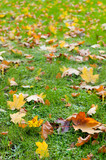 Fototapety Autumn leaf in a green grass