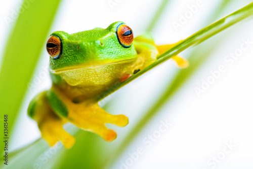 Small green tree frog holding on the palm tree