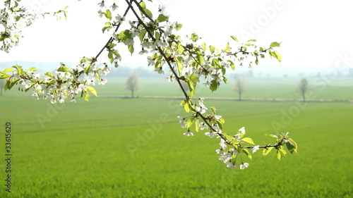 Cherry Blossoms with a springtime cereal field