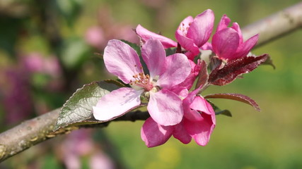 Close up of pink apple blossoms swaying with the wind