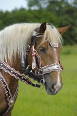 Pferd Kaltblut
