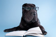 Black shar-pei dog with glasses reading a book