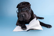 Sharpei with glasses reding a book, isolated on blue background