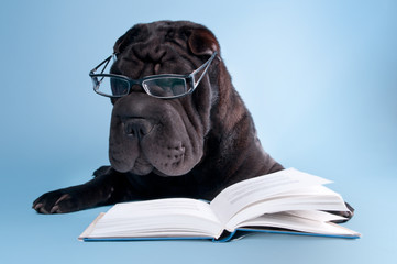 Black shar-pei with glasses reading a book