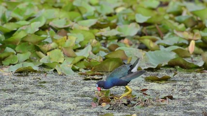An American Purple Gallinule in a Florida swamp