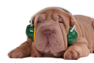 Sharpei puppy is listening to music with headphones