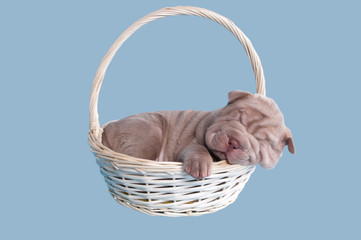 Newborn sharpei puppy sleeping in a basket