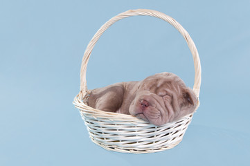 Newborn sharpei puppy dreaming in a basket