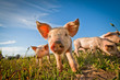 canvas print picture - One cute pig curious on the camera