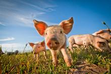 """Постер, картина, фотообои """"One cute pig curious on the camera"""""""