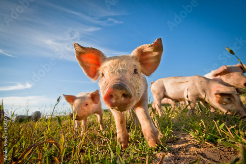 canvas print picture One cute pig curious on the camera