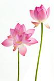 Fototapete Wasser - Lily - Blume