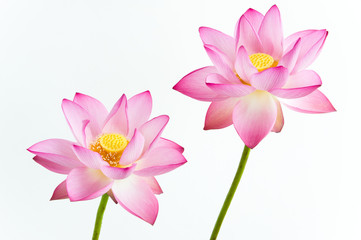 Twain pink water lily flower (lotus) and white background.