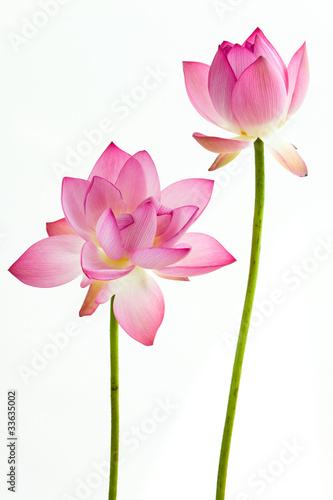 Fotobehang Lotusbloem Twain pink water lily flower (lotus) and white background.