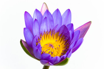 Purple lotus flower and white background.