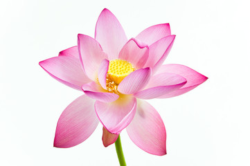 Pink water lily flower (lotus) and white background.