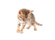Cute bengal kitten isolated
