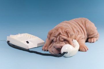Wrinckled sharpei puppy arguing over the phone