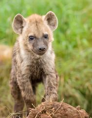 Hyena cub in Masai Mara