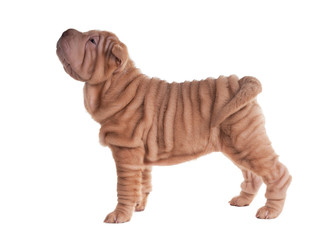 Wrinkled sharpei puppy standing