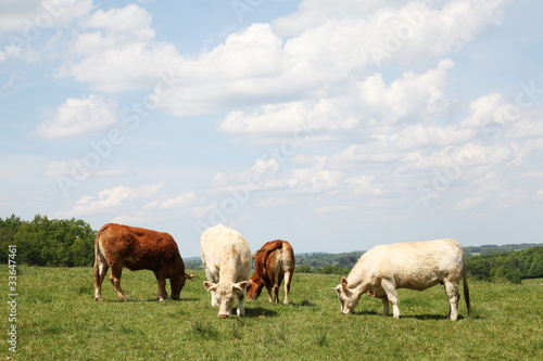 Grazing Beef Cattle Charolais and Limousin