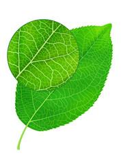 Detailed green leaf