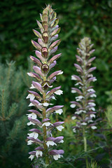 Acanthus mollis, or Bear's Breeches