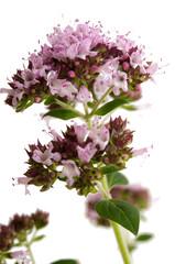 Oregano in Blüte