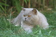 british shorthair tapi dans l'herbe