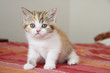chaton british shorthair - young cat