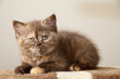 chaton british shorthair insolite