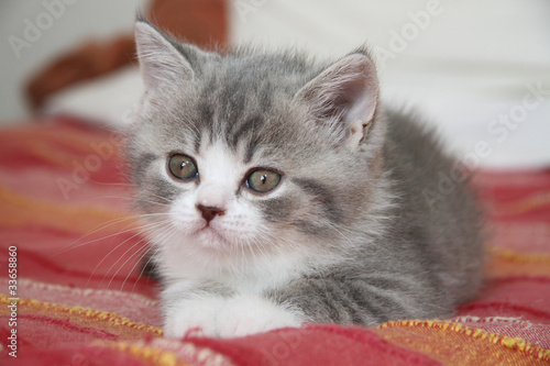 jeune british shorthair allongé de face