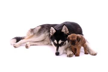 Junghund Husky kuschelt mit Cavalier Welpe