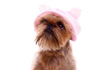 Hund Griffon mit Babymütze Portrait