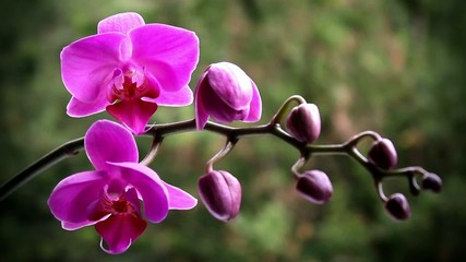 Pink orchid on the nature
