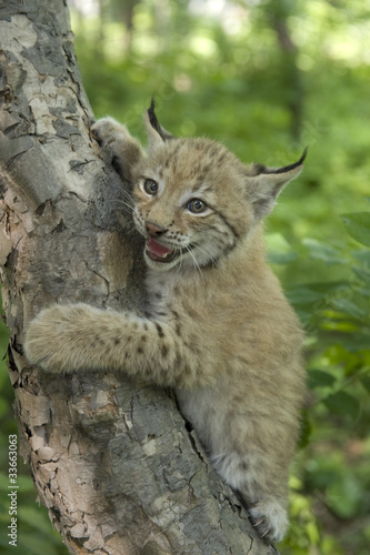 Papiers peints Lynx lynx, kitten of lynx, child of lynx