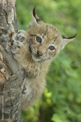 Plexiglas Lynx lynx, kitten of lynx, child of lynx