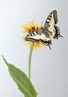 Swallowtail on a flower