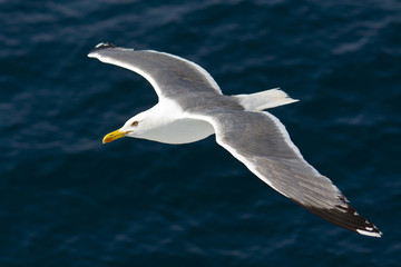 Seagull flying above the Aegean sea