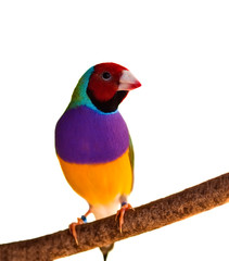 Australian finch Gouldian red headed male bird isolated