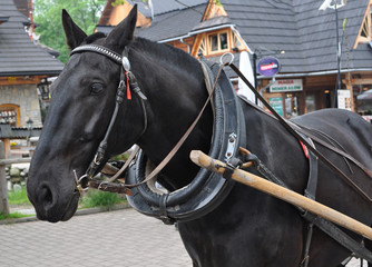 Horse in Tatry - Zakopane main street