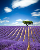 Fototapety Lavande Provence France / lavender field in Provence, France