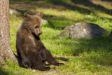 Fototapety Brown bear cub (Ursus  arctos) resting in the sunshine