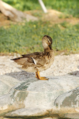 A beautiful female  Mallard duck