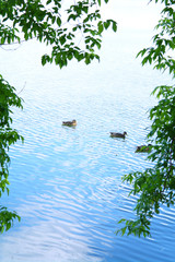 Ducks in the lake in the background foliage in summer