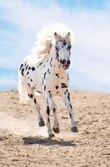 Appaloosa pony runs gallop in dust