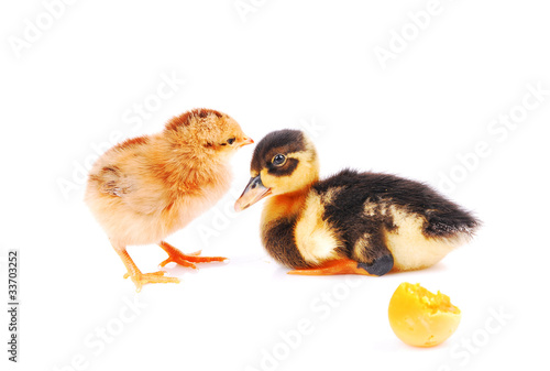 chicken and the duck, isolated white background