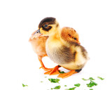 Chicks and ducklings, isolated white background