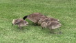 Grazing geese family