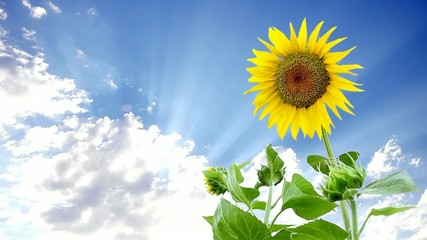 Sunflower & Cloud
